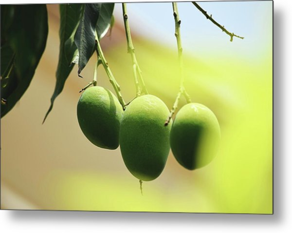 Close-up Of Mangoes Hanging From Twig Metal Print