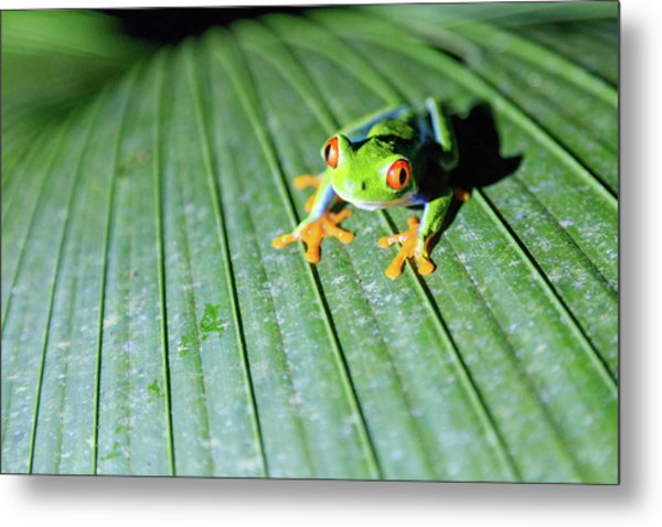 Close Up Of Red Eyed Tree Frog, Costa Metal Print by Matteo Colombo