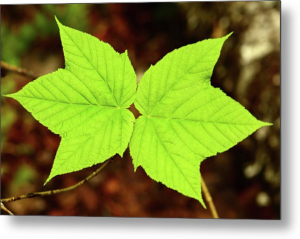 Close Up Of The Paired Leaves Metal Print