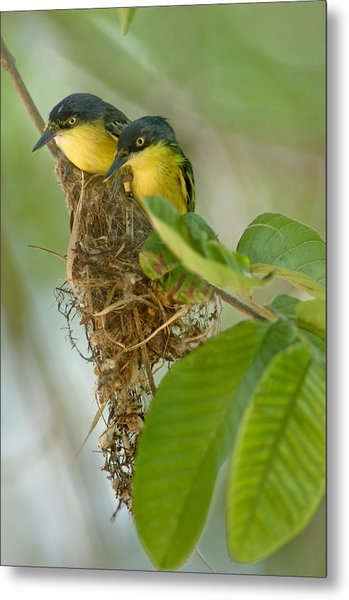Close-up Of Two Common Tody-flycatchers Metal Print