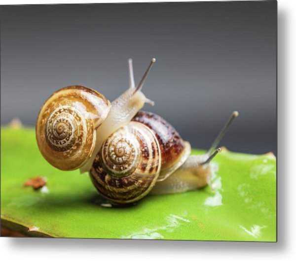 Close Up Of Two Snails Matting Metal Print by Ozgur Donmaz