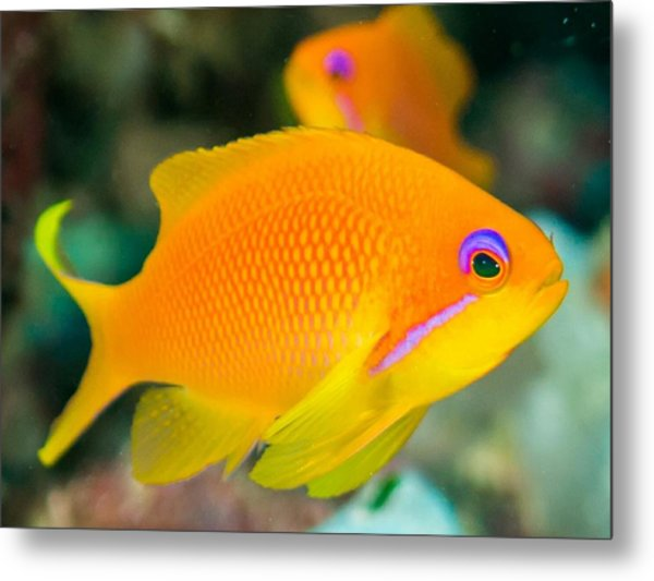 Close-up Of Yellow Fish Swimming Metal Print by Oscar Robertsson / Eyeem