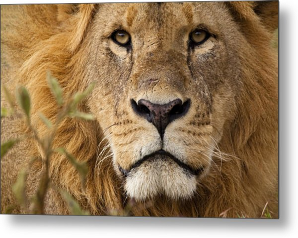Close-up Portrait Of A Majestic Lion's Solemn Face Metal Print by WLDavies