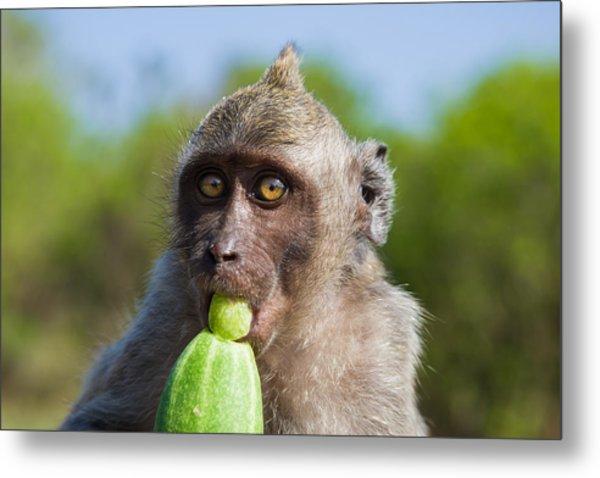 Closeup Monkey Eating Cucumber Metal Print