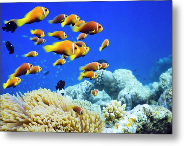 Clown Fish In Anemone Metal Print by Cinoby