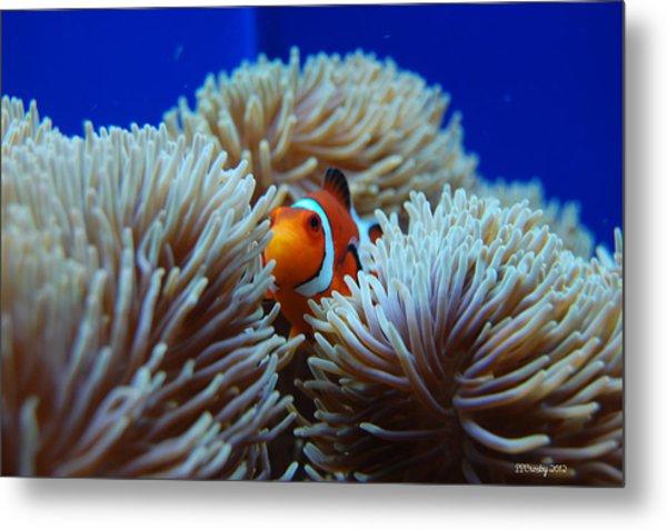 Clown Fish In Sea Anemone Metal Print