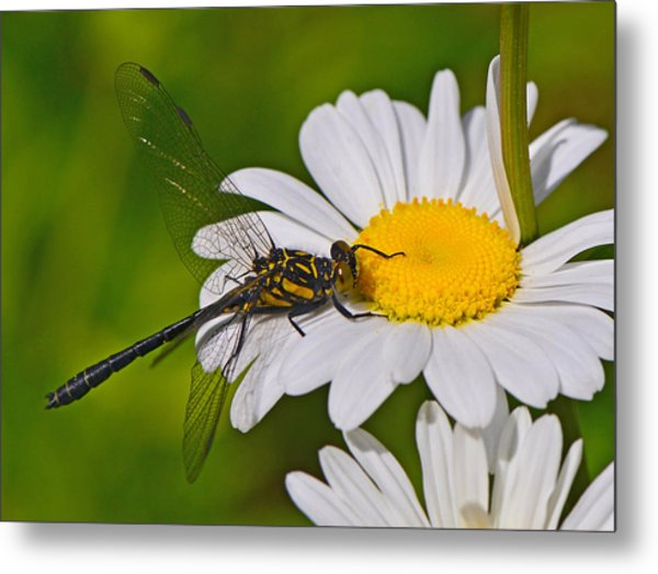 Clubtail Dragonfly On Oxeye Daisy Metal Print