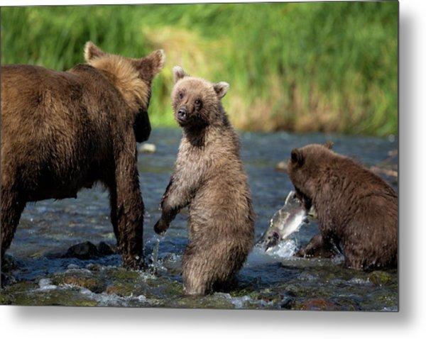 Coastal Brown Bear Family Metal Print by Justinreznick
