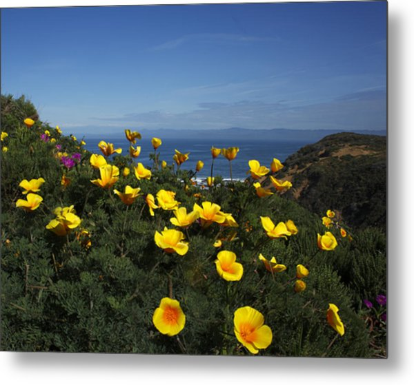 Coastal California Poppies Metal Print