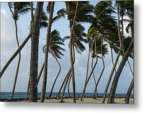 Coconut Palm (cocos Nucifera Metal Print by Pete Oxford