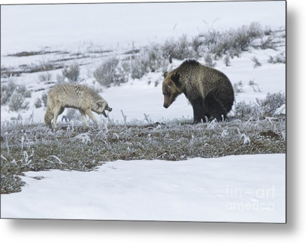 Confrontation In Hayden Valley Metal Print by Bob Dowling