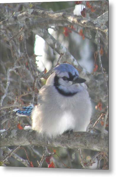 Cold Canadian Bluejay Metal Print