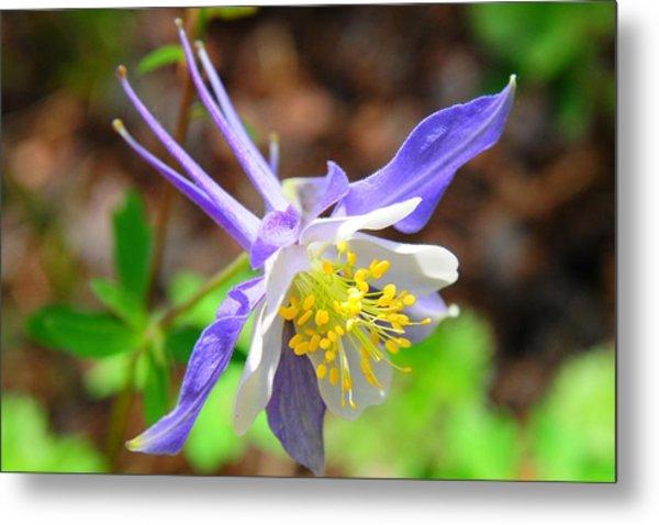 Colorado Blue Columbine Flower Metal Print