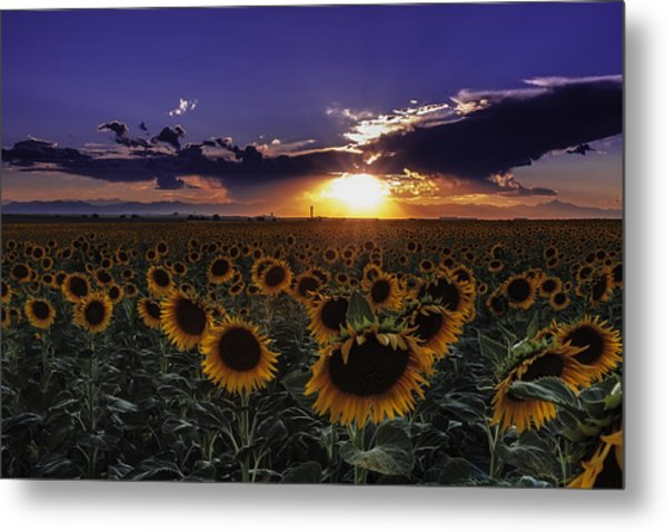 Colorado Sunflowers Metal Print