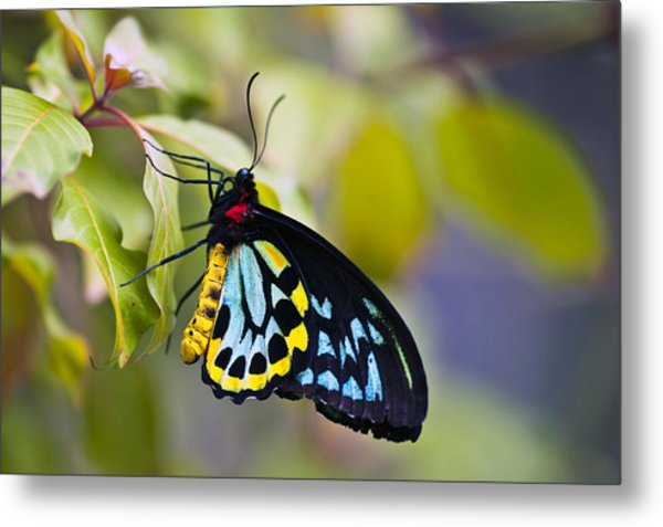 colorful butterfly Ornithoptera priamus Metal Print