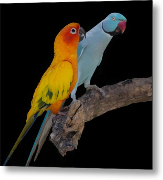 Sun Conure And Ring Neck Parakeet Metal Print