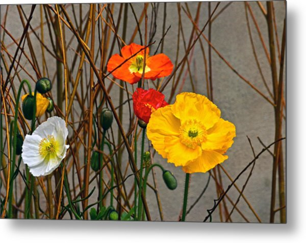 Colorful Poppies And White Willow Stems Metal Print
