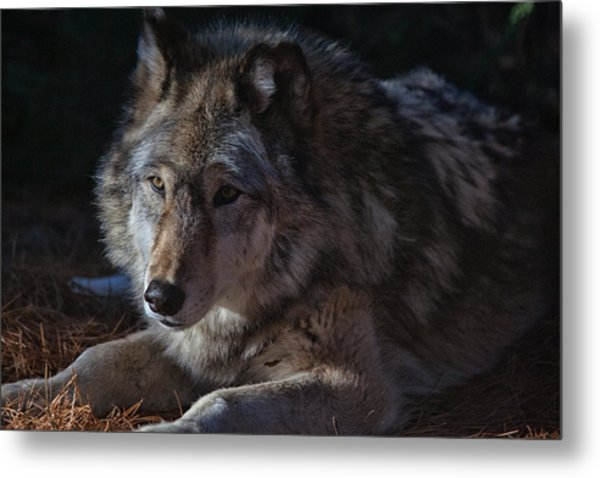 Colors Of A Wolf Metal Print