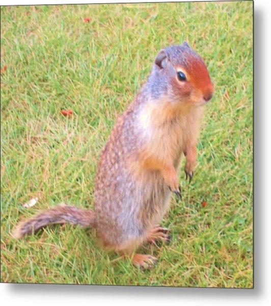 Columbian Ground Squirrel Metal Print