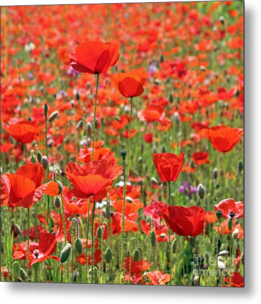 Commemorative Poppies Metal Print