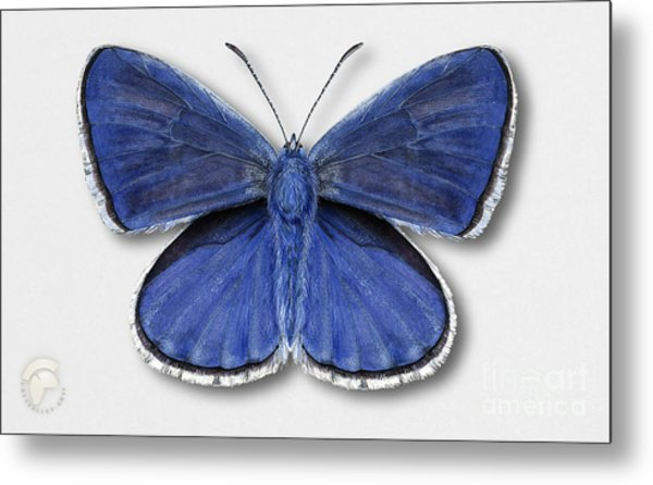 Common Blue Butterfly - Polyommatus Icarus Butterfly Naturalistic Painting - Nettersheim Eifel Metal Print