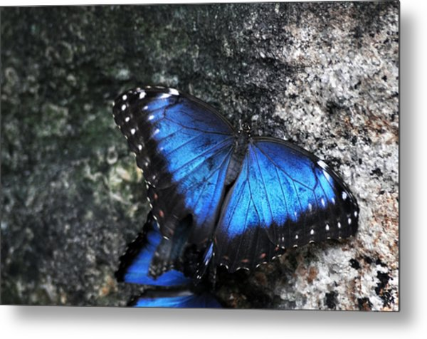 Common Blue Morpho Metal Print by Ginger Harris