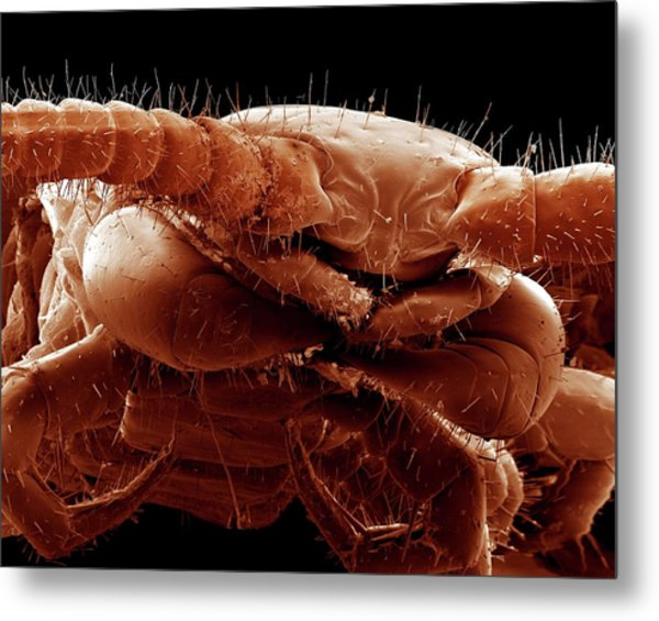 Common Centipede Head Metal Print by Clouds Hill Imaging Ltd