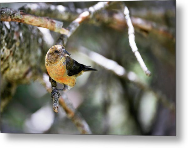 Common Crossbill Female Metal Print
