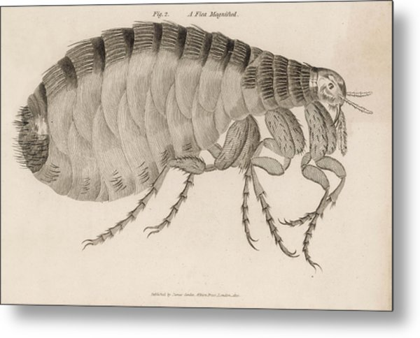 Common Flea (pulex)           Date 1810 Metal Print by Mary Evans Picture Library