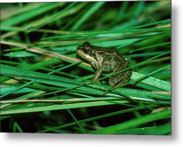 Common Frog Metal Print by Dr Morley Read/science Photo Library.