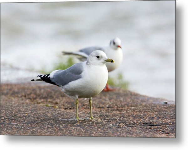 Common Gull And Black-headed Gull Metal Print by John Devries/science Photo Library