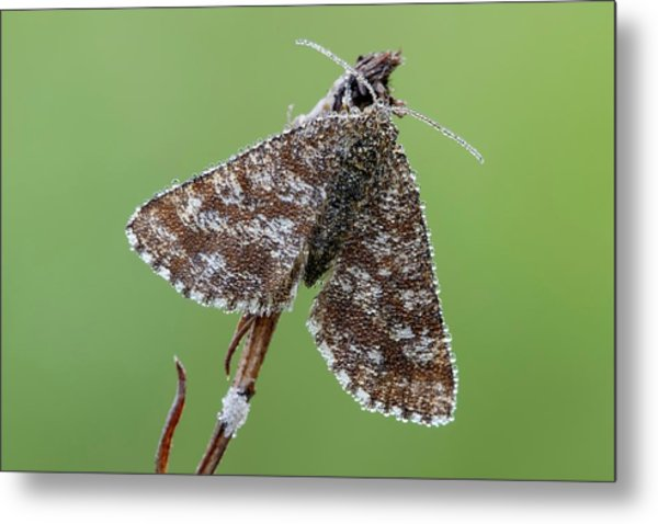 Common Heath Moth Metal Print