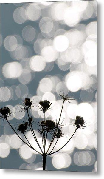 Common Hogweed (heracleum Sphondylium) Metal Print by Dr. John Brackenbury/science Photo Library