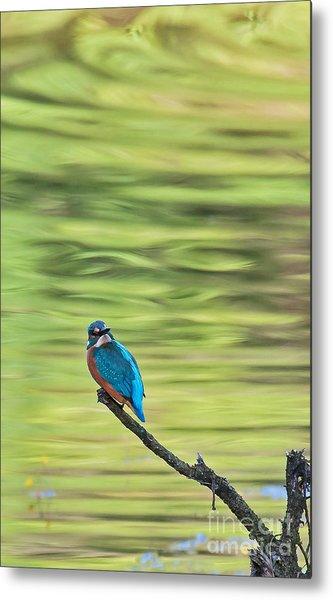 Common Kingfisher Metal Print