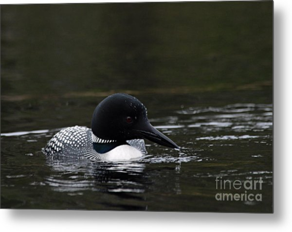 Common Loon 1 Metal Print