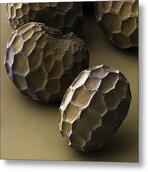 Common Poppy Seeds (papaver Rhoeas) Sem Metal Print by Power And Syred