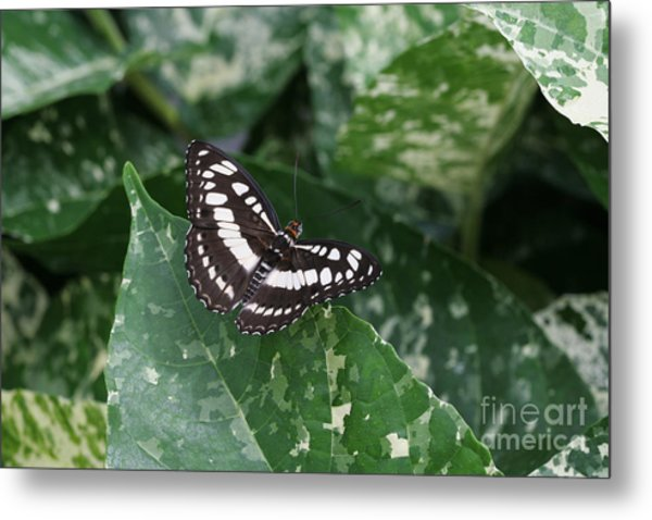 Common Sergeant Butterfly Metal Print