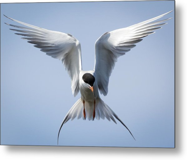 Common Tern Metal Print