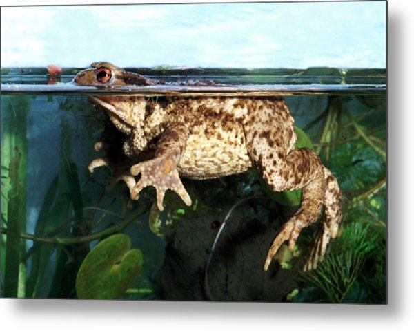 Common Toad Metal Print by Brian Gadsby/science Photo Library