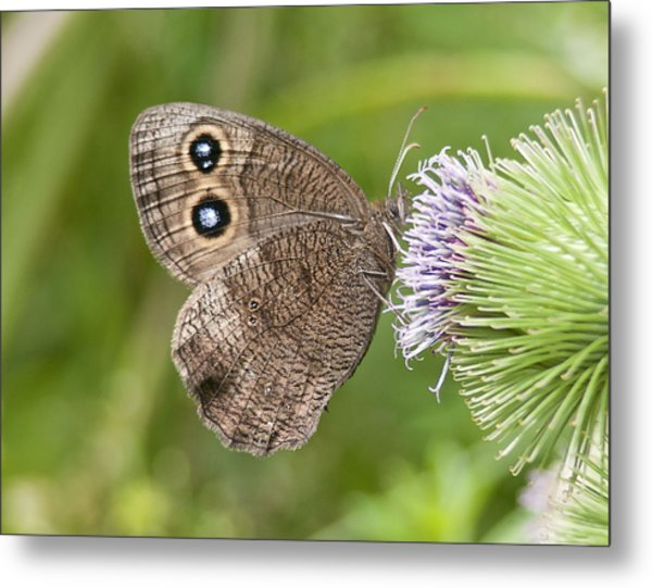 Common Wood-nymph On Thistle Metal Print