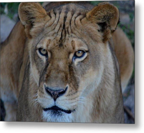 Concerned Lioness Metal Print