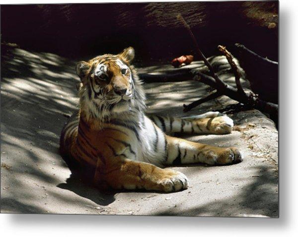 Content Tiger Metal Print