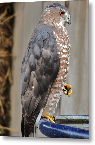 Coopers Hawk 2 Metal Print by Helen Carson