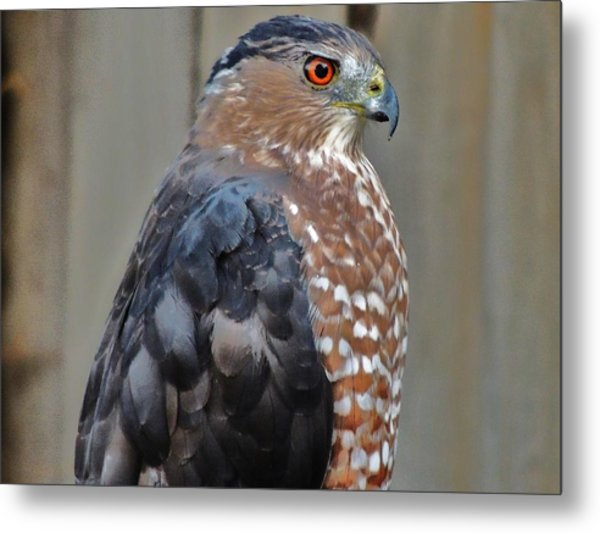 Coopers Hawk 3 Metal Print
