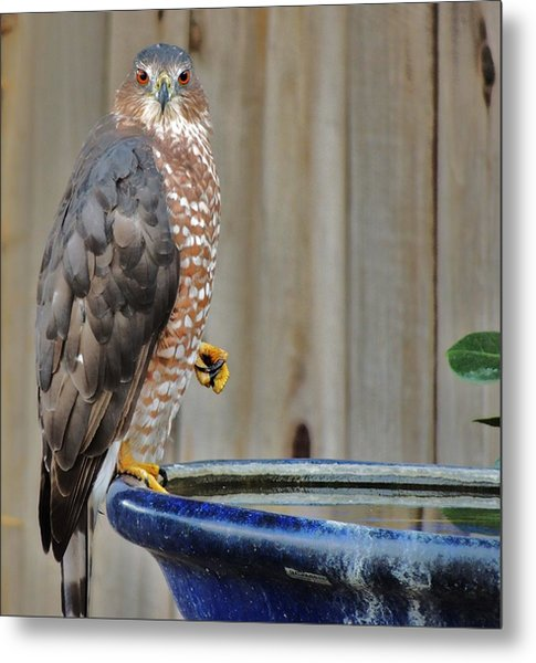 Coopers Hawk 4 Metal Print