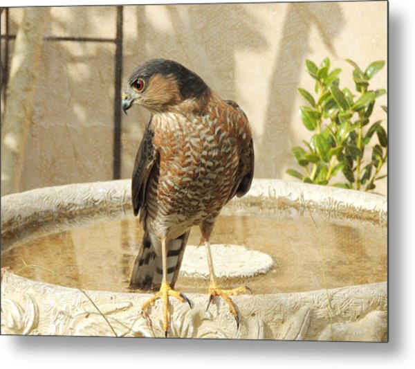 Cooper's Hawk At The Bird Bath Metal Print
