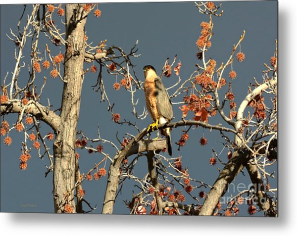Cooper's Hawk Catches Sun In Stormy Sky Metal Print