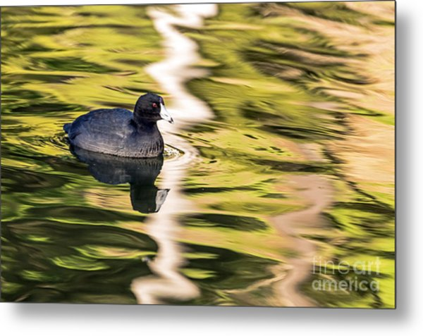 Coot Reflected Metal Print