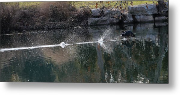 Cormorant Take-off Metal Print