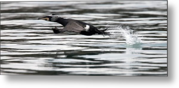 Cormorant Taking Off From The Sea Metal Print